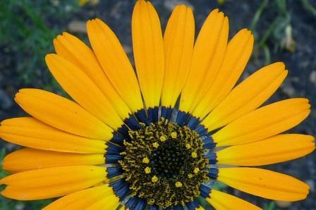 Цветок урсинии красивой