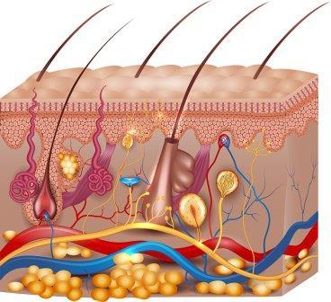 Структура волосяного фолликула