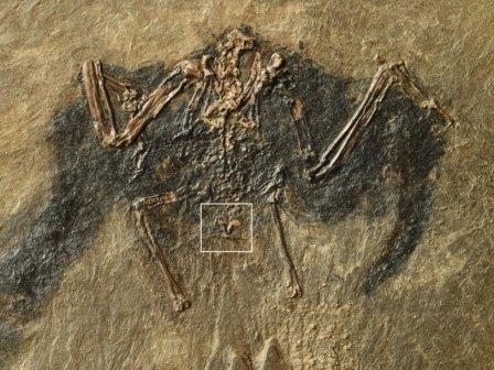 У древней птицы палеонтологи нашли сохранившуюся копчиковую железу