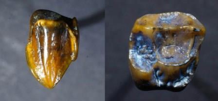 Клык (слева) и моляр (справа) из Эпельсгейма