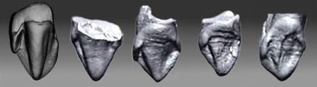 Слева направо: клык из Эпельсгейма, в сравнении с правыми клыками Ardipithecus kadabba
