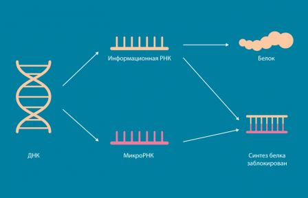 Работа микроРНК