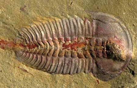 Palaeolenus lantenoisi © 2017 Hopkins et al.