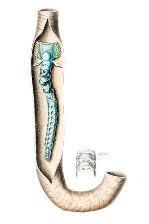 Червь рода Chaetopterus