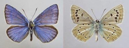 Polyommatus australorossicus © Владимир Лухтанов