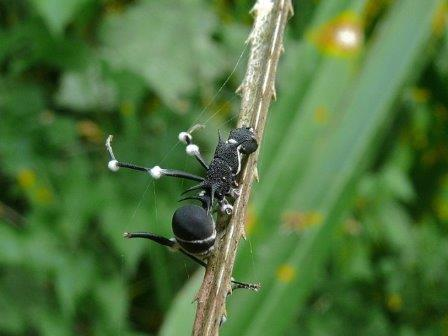 Зараженный муравей вида Polyrhachis armata