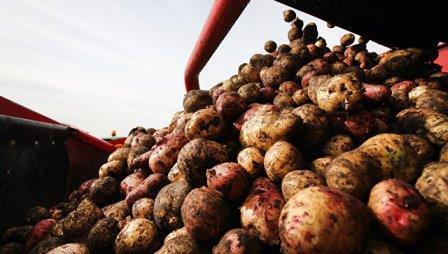 Картофель © РИА Новости