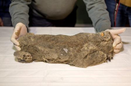 В Якутии нашли идеально сохранившегося пещерного львенка