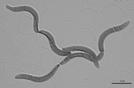Бактерии вида Magnetospirillum gryphiswaldens