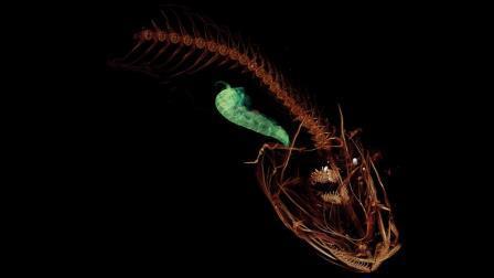 Компьютерная томография Pseudoliparis swirei