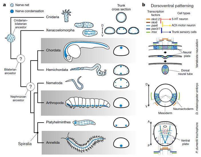 Эволюция центральной нервной системы (ЦНС)