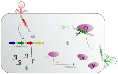 Механизм работы системы Crispr-Cas