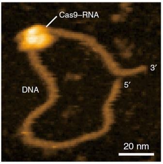 Комплекс Cas9-РНК