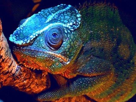 У хамелеонов обнаружена способность к флуоресценции