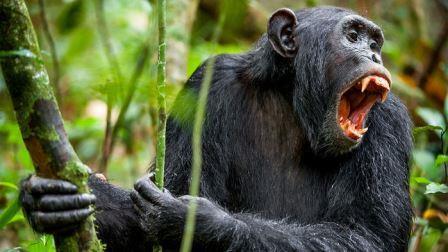 Самцы шимпанзе сигнализируют о своей агрессии, когда они показывают свои большие клыки, в отличие от людей, которые показывают маленькие клыки, когда они улыбаются © Sergey Uryadnikov/shutterstock.com