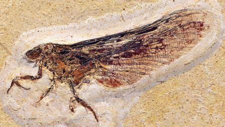 Mickoleitia longimanus © Dr. Günter Bechly