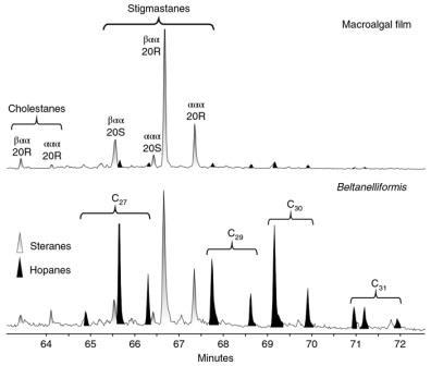 Хроматограммы, показывающие соотношение стеранов (белые пики) и гопанов (черные пики) в органическом веществе водорослевых пленок (Macroalgal film, вверху) и Beltanelliformis (внизу)