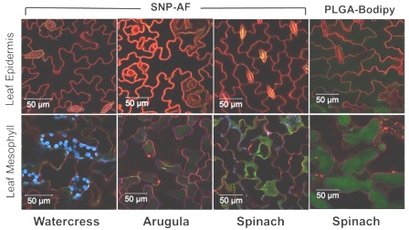 Меченые наночастицы из оксида кремния (SNP-AF) и из сополимера молочной и гликолевой кислот