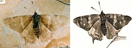 Одна из древнейших дневных бабочек, Prodryas persephone (Nymphalidae)