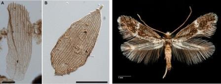 чешуйки Lepidoptera