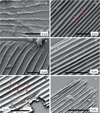 Микроструктура найденных чешуек, изученная под сканирующим микроскопом.