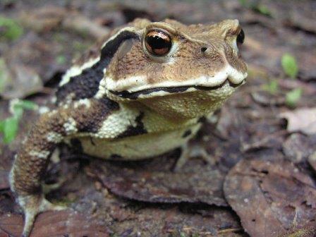 Японская жаба (Bufo japonicus) © Yasunori Koide/Wikimedia Commons