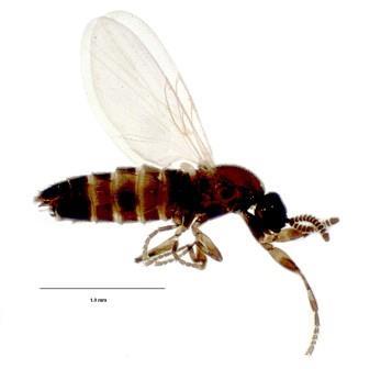 Комарик-гнильница Ectaetia subclavipes © Alexei Polevoi et al./Biodiversity Data Journal
