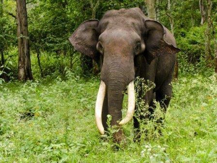 Азиатский слон (Elephas maximus) © Srikaanth Sekar/Flickr