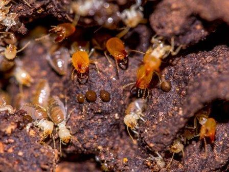 Термиты вида Nasutitermes corniger © Javier Ábalos Alvarez/Flickr