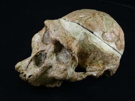 Череп Sts 5 © Ditsong National Museum of Natural History