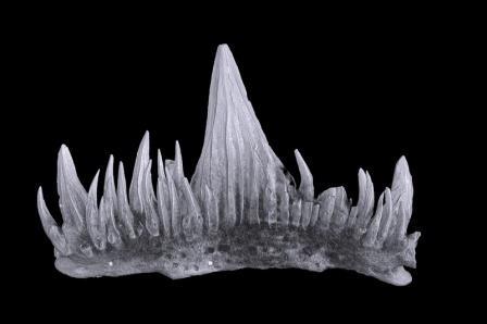 Один из обнаруженных зубов Tamiobatis elgae © пресс-служба СПбГУ