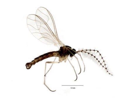 Комарик-детритница Zygoneura bidens © Alexei Polevoi et al./Biodiversity Data Journal