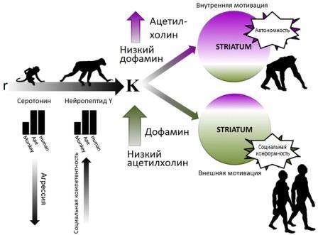 Предполагаемые нейрохимические основы эволюции социального поведения гоминид и других обезьян
