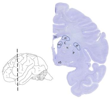 Исследованные участки дорзального стриатума
