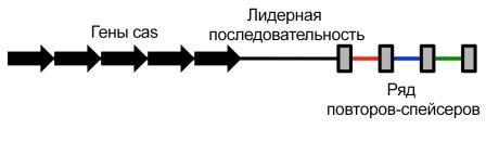 Упрощённая схема строения CRISPR ©wikipedia
