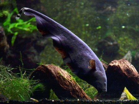 Apteronotus albifrons © Vassil/Wikimedia Commons