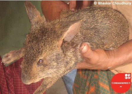 Щетинистый заяц (Caprolagus hispidus) © Journal of Threatened Taxa