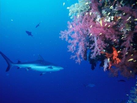 Темноперая серая акула © Pixabay
