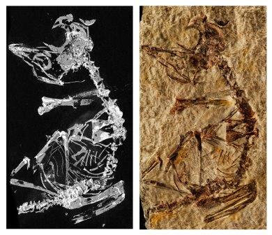 Отпечатки тела птенца, умершего почти сразу после рождения © Dr. Fabien Knoll
