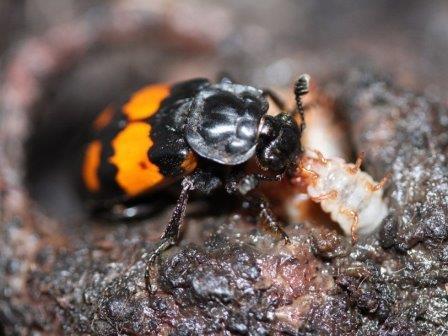 Черноусый могильщик (Nicrophorus vespilloides) © Per Smiseth