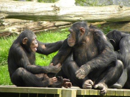 Шимпанзе и бонобо© Mark Fosh/Flickr
