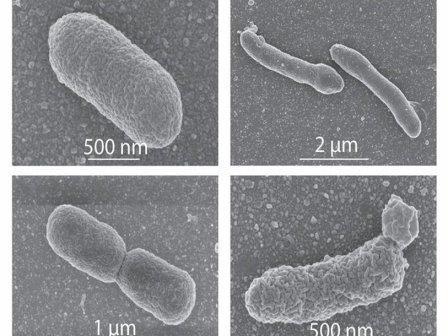 Обычные и модифицированные бактерии © Caforio et al., PNAS, 2018