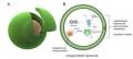 Слева – схематическое изображение системы; справа – реализованные в ней биохимические процессы © Elani et al., 2018