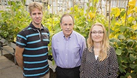 Генетики и ГМО-табак, способный пережить сильные засухи © Brian Stauffer/University of Illinois