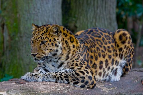 Дальневосточный леопард © Amur Leopard