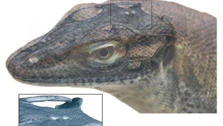 Внешний вид ящерицы Saniwa ensidens, реконструкция по КТ и рентгеновским снимкам © Senckenberg Gesellschaft für Naturforschung / Andreas Lachmann / Digimorph.org