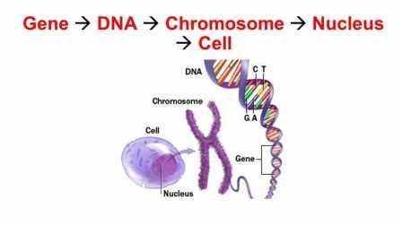 Клеточное ядро содержит хромосомы в своём ДНК © slideplayer.com