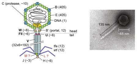Рис. 1. Схема строения и общий вид фага лямбда.