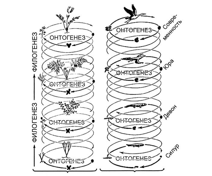 Рис. 1. Эволюционный процесс, слагающийся из переходящих друг в друга жизненных циклов. В качестве примеров выбрано происхождение сосудистых растений (слева) и происхождение птиц (справа). В данном случае онтогенез можно считать синонимом жизненного цикла, а филогенез — синонимом эволюции. Рисунок Вальтера Циммермана (Walter Zimmermann)