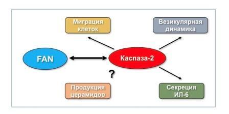 Последствия взаимодействия между каспазой-2 и FAN © Борис Животовский